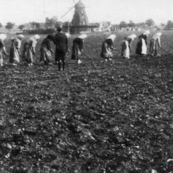 Radnice na šećernoj plantaži, Švedska.