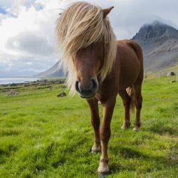 Islandski konj.