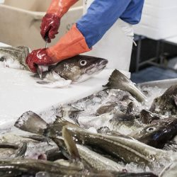 Izlov ribe, Island.