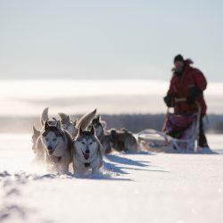 Pseća zaprega, Laponija. Izvor: Fredrik Broman/imagebank.sweden.se
