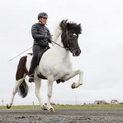 Trening islandskih ponija.