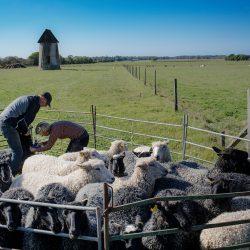 Uzgoj ovaca na Gotlandu, Švedska. Izvor: Karl Melander/imagebank.sweden.se