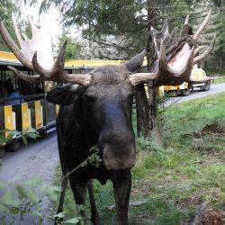 Markaryd, Moose safari. Izvor: Nordic Point