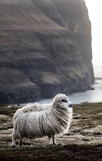 ovce farski otoci